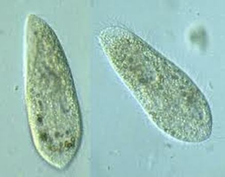 106093 furthermore Los Protozoarios together with Euglena also 2370011 additionally 18706. on amoeba and paramecium